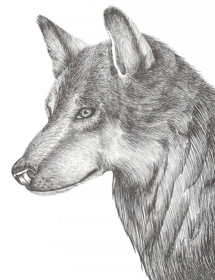 CROSS HATCHING WOLF DRAWING