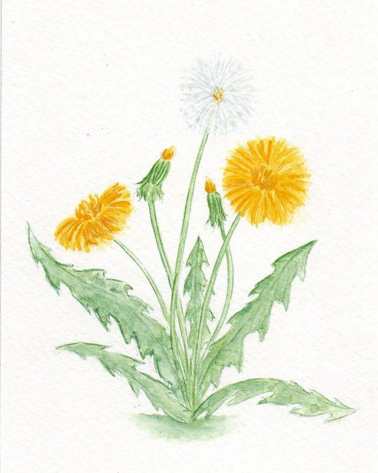 yellow and white dandelion