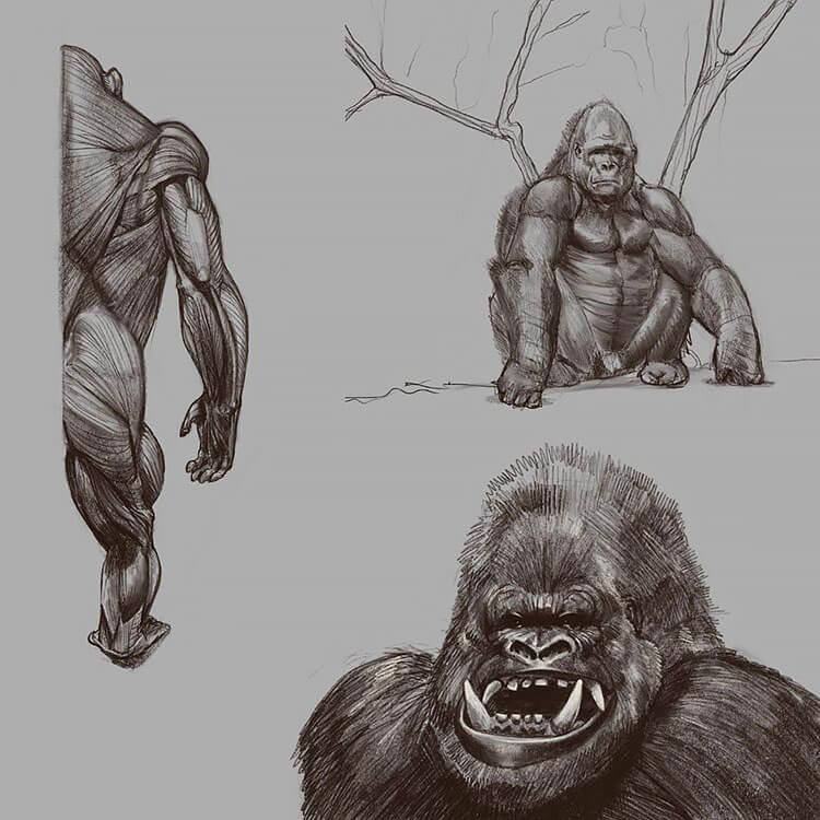 gorilla anatomy drawing