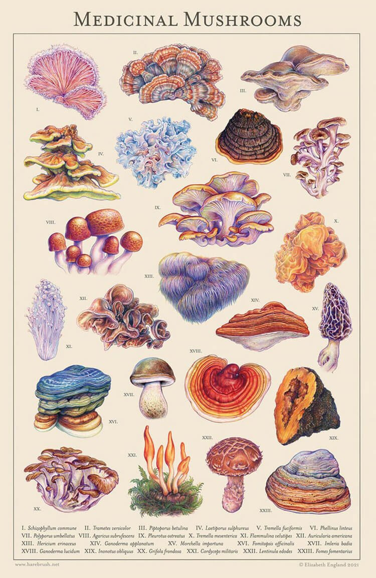 Medicinal Mushrooms Drawing